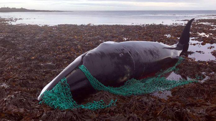 tangled pregnant minke whale