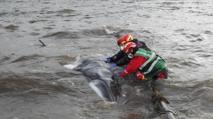 volunteers rescuing a young minke whale